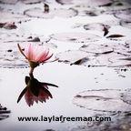 lotus-2154146_1280